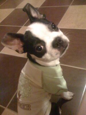 Big Papi the Cutest Boston Terrier