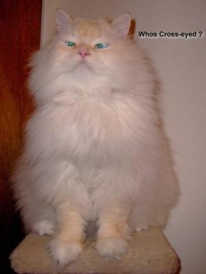 Daniel our Cute Himalayian Persian Cat