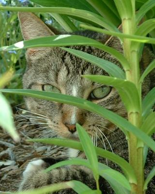 Gypsy the Garden Tiger