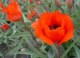 Tulipa Bernadette Picture
