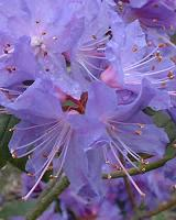 Rhodedendron Blue Chip