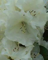 Rhododendron Rothenburg