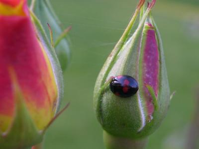 Rose Bug or Rose Bud?