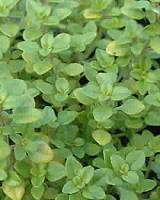 Golden Thyme Picture