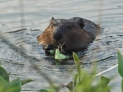 My Overeager Beaver