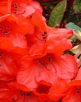 Rhododendron Elizabeth