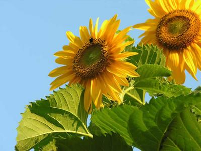 Sunflowers in the Sunshine