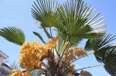Trachycarpus Wagianus in Flower